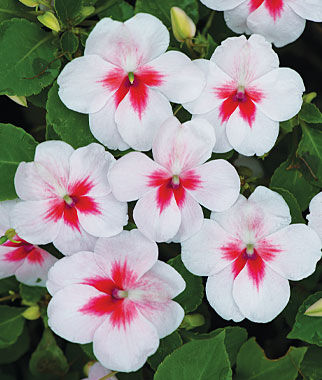 Impatiens, Cherry Splash 1 Pkt. (30 Seeds) Annuals, Annual, Annual Flowers, Annual Flower Seeds, Seeds, Flower Seeds, Cottage Garden Flowers