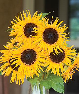 Sunflower, Frilly Hybrid 1 Pkt. (25 Seeds) Annuals, Annual, Annual Flowers, Annual Flower Seeds, Seeds, Flower Seeds, Cottage Garden Flowers
