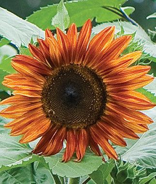 Sunflower, Fire in The Sky Hybrid 1 Pkt. (25 Seeds) Annuals, Annual, Annual Flowers, Annual Flower Seeds, Seeds, Flower Seeds, Cottage Garden Flowers