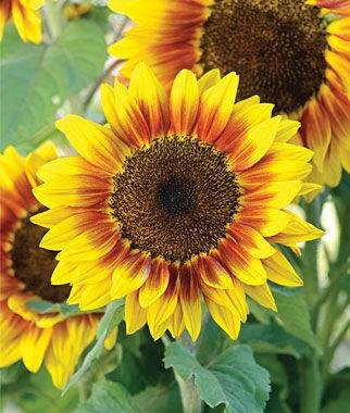 Sunflower, Solar Flash Hybrid 1 Pkt. (15 Seeds) Annuals, Annual, Annual Flowers, Annual Flower Seeds, Seeds, Flower Seeds, Cottage Garden Flowers