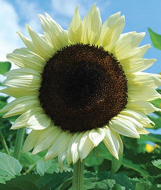 Sunflower, Coconut Ice Hybrid 1 Pkt. (25 Seeds) Annuals, Annual, Annual Flowers, Annual Flower Seeds, Seeds, Flower Seeds, Cottage Garden Flowers