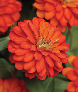 Zinnia, Zahara Double Fire 1 Pkt. (25 Seeds) Annuals, Annual, Annual Flowers, Annual Flower Seeds, Seeds, Flower Seeds, Cottage Garden Flowers