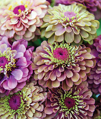 Zinnia, Queen Red Lime 1 Pkt. (25 Seeds) Annuals, Annual, Annual Flowers, Annual Flower Seeds, Seeds, Flower Seeds, Cottage Garden Flowers