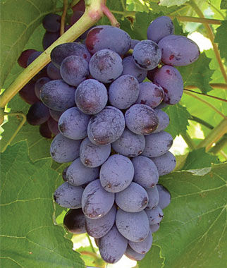 Grape, Jupiter PP13,309 2 Bare Root Plants Grapes, Grape Vines, Grape Plants, Grape Starts, Bare Root Grapes, Fruit Plants, Fruit Garden, Vines