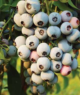 Blueberry, Herbert 2 Bare Root Plants Blueberry Plants, Blueberries, Berry Plants, Fruit Plants, Fruit Garden, Berry Garden, Garden Plants