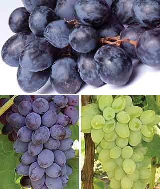 Grape, Out of World Collection 3 Bare Root Plants Grapes, Grape Vines, Grape Plants, Grape Starts, Bare Root Grapes, Fruit Plants, Fruit Garden, Vines
