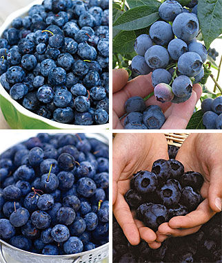 Blueberry, Favorite Collection 4 Bare Root Plants Blueberry Plants, Blueberries, Berry Plants, Fruit Plants, Fruit Garden, Berry Garden, Garden Plants