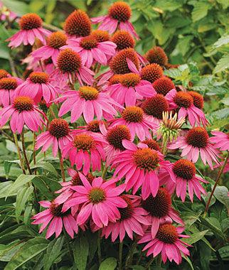 Echinacea, PowWow Wild Berry 1 Pkt. (10 seeds) Perennial, Perennial Flowers, Perennial Flower Seeds, Flower Seeds, Perennial Seeds, Flowers, Seeds