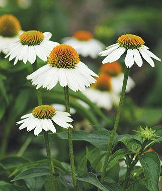 Echinacea, PowWow White 1 Pkt. (10 seeds) Perennial, Perennial Flowers, Perennial Flower Seeds, Flower Seeds, Perennial Seeds, Flowers, Seeds