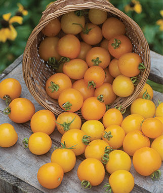 Tomato, Tumbling Tom Yellow Hybrid 3 Plants