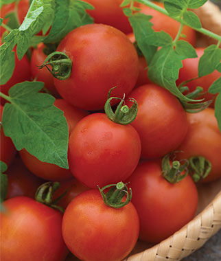 Tomato, Mountain Magic Hybrid 1Pkt. (10 seeds) Cherry Tomato Seeds, Currant Tomato Seeds, Grape Tomato Seeds, Cherry Tomato, Tomato Seeds