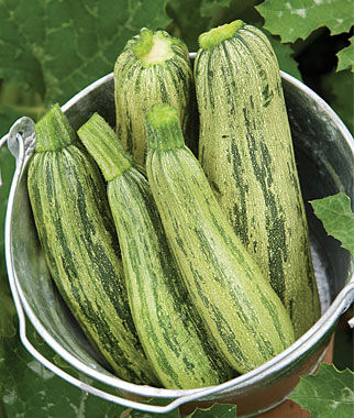 Squash, Summer Zucchini, Camouflage Hybrid 1 Pkt. (25 seeds) Zucchini Seeds, Zucchini Seed, Summer Squash, Squash, Zucchini Squash, Garden Seeds, Vegetable Seeds