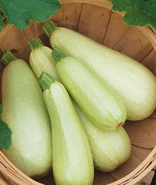 Squash, Summer Zucchini Limelight Hybrid 1 Pkt. (30 seeds) Zucchini Seeds, Zucchini Seed, Summer Squash, Squash, Zucchini Squash, Garden Seeds, Vegetable Seeds