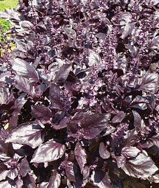 Basil, Round Midnight 1 Pkt. (100 seeds) Basil Seeds, Basil Plants, Basil Starts, Herb Seeds, Herb Plants, Garden Seed, Vegetable Seeds