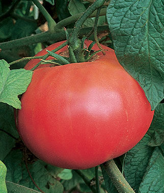 Tomato, Brandywine Red Organic 1 Pkt. (50 seeds) Heirloom Tomatoes, Heirloom Tomato Seeds, Heirloom Seeds, Heirloom Tomato Plants, Tomato Seeds