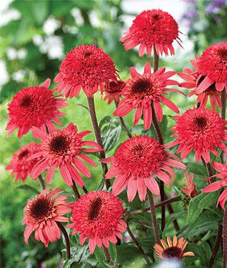 Echinacea, Raspberry Truffle 1 Plant Perennial, Perennial Flowers, Perennial Flower Plants, Perennial Plants, Flower Plants, Flowers