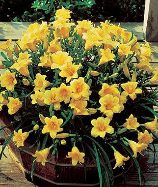 """Daylily (Hemerocallis) """"Stella de Oro"""" 3 Plants Perennial, Perennial Flowers, Perennial Flower Plants, Perennial Plants, Flower Plants, Flowers"""