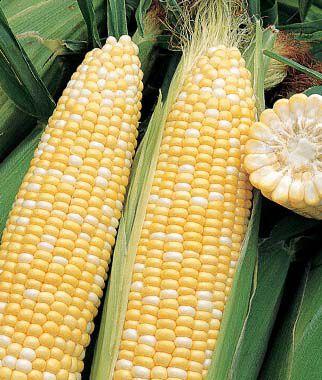 Corn, Ambrosia 1 Pkt. (200 seeds) Corn Seeds, Corn Seed, Seed Corn, Corn, Sweet Corn Seeds, Super Sweet Corn Seeds, Garden Seeds