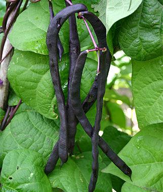 Bean, Purple Podded Pole 1 Pkt. (15 grams) Bean Seeds, Pole Beans, Bean - Pole, Vegetable Seeds, Garden Seeds, Seeds, Garden Supplies
