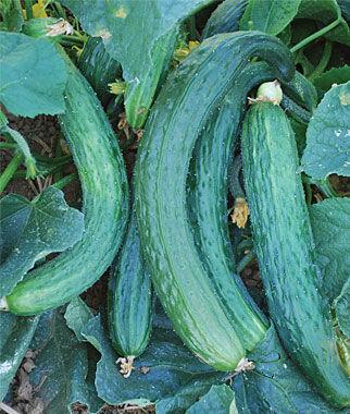 Cucumber, Suyo Long 1 Pkt.(20 Seeds)