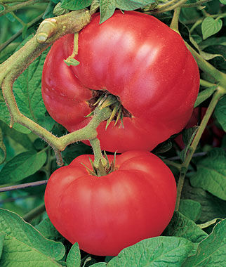 Tomato, Brandywine Red (Potato Leaf) 1 Pkt. (30 Seeds) Heirloom Tomatoes, Heirloom Tomato Seeds, Heirloom Seeds, Heirloom Tomato Plants, Tomato Seeds