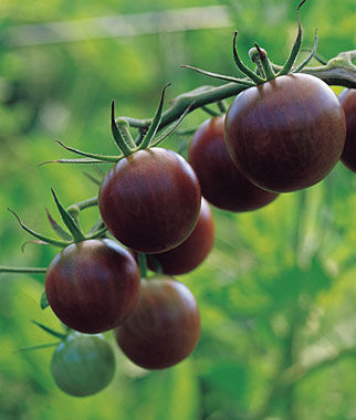 Tomato, Black Cherry 1 Pkt.(30 Seeds) Heirloom Tomatoes, Heirloom Tomato Seeds, Heirloom Seeds, Heirloom Tomato Plants, Tomato Seeds