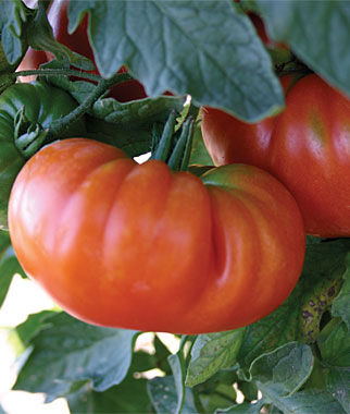 Tomato, Amana Orange 1 Pkt. Heirloom Tomatoes, Heirloom Tomato Seeds, Heirloom Seeds, Heirloom Tomato Plants, Tomato Seeds
