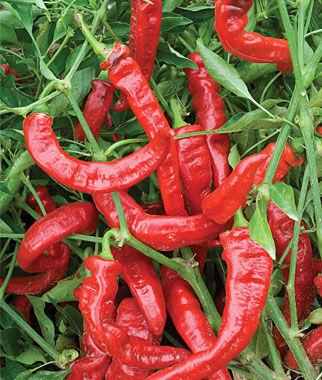 Pepper, Sweet, Jimmy Nardello 1 Pkt. Pepper Seeds, Sweet Pepper Seeds, Stuffing Peppers, Bell Peppers, Sweet Peppers, Bell Pepper Seeds
