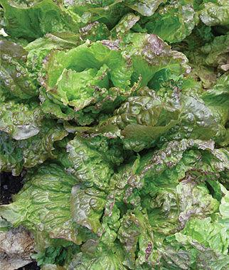 Lettuce, Red Grenoble 1 Pkt.(900 Seeds) Lettuce Seed, Lettuce Seeds, Salad Greens, Lettuce, Lettuce Mix, Mesclun, Garden Seeds, Salad Seeds
