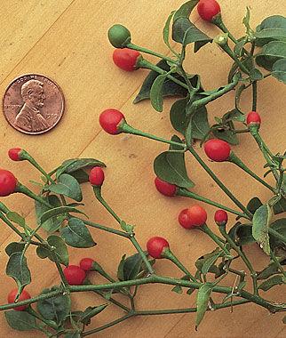 Pepper, Hot, McMahon's Bird Pepper 1 Pkt.(30 Seeds) Hot Pepper Seeds, Chili Pepper Seeds, Chili Seeds, Pepper Seeds, Peppers, Chilis, Garden Seeds, Seed