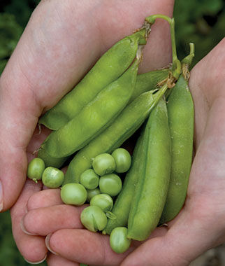 Pea, Lincoln 1 Pkt. Pea Seeds, Peas Seed, Pea Seeds, Peas, Garden Peas, Garden Seeds, Vegetable Seeds, Garden Supplies