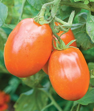 Tomato, Orange Roma 1 Pkt. Heirloom Tomatoes, Heirloom Tomato Seeds, Heirloom Seeds, Heirloom Tomato Plants, Tomato Seeds
