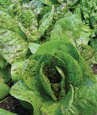 Lettuce, Forellenschluss 1 Pkt.(900 Seeds) Lettuce Seed, Lettuce Seeds, Salad Greens, Lettuce, Lettuce Mix, Mesclun, Garden Seeds, Salad Seeds
