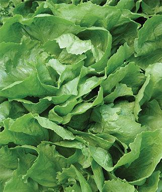 Escarole, Sugarloaf 1 Pkt. (675 seeds) Salad Greens Seeds, Salad Greens Seed, Salad Seeds, Salad Greens, Garden Seeds, Vegetable Seeds