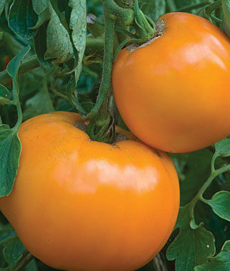 Tomato, Burpee's Jubilee 1 Pkt.(125 Seeds) Heirloom Tomatoes, Heirloom Tomato Seeds, Heirloom Seeds, Heirloom Tomato Plants, Tomato Seeds