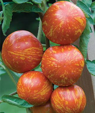Tomato, Red Zebra 1 Pkt. (30 seeds) Heirloom Tomatoes, Heirloom Tomato Seeds, Heirloom Seeds, Heirloom Tomato Plants, Tomato Seeds