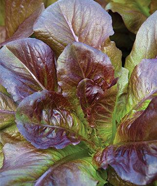Lettuce, Cimarron 1 Pkt.(1240 Seeds) Lettuce Seed, Lettuce Seeds, Salad Greens, Lettuce, Lettuce Mix, Mesclun, Garden Seeds, Salad Seeds