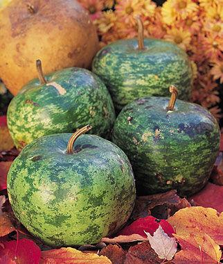Gourd, Apple 1 Pkt.(15 Seeds) Gourd Seeds, Ornamental Gourd Seeds, Gourds, Ornamental Gourds, Garden Seeds, Vegetable Seeds