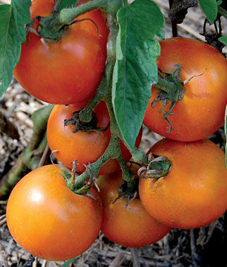 Tomato, Jaune Flamme 1 Pkt.(30 Seeds) Heirloom Tomatoes, Heirloom Tomato Seeds, Heirloom Seeds, Heirloom Tomato Plants, Tomato Seeds