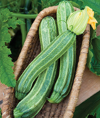 Squash, Italian Ribbed Zucchini 1 Pkt. (30 Seeds) Zucchini Seeds, Zucchini Seed, Summer Squash, Squash, Zucchini Squash, Garden Seeds, Vegetable Seeds