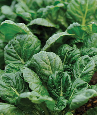 Mustard, Tatsoi 1 Pkt.(595 Seeds) Asian Greens Seeds, Oriental Vegetables, Chinese, Japanese, Thai, Vietnamese, Cookbooks, Kitchen