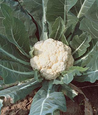 Cauliflower, Snowball Self-Blanching 1 Pkt.(50 Seeds) Cauliflower Seeds, Cauliflower Seed, Cauliflower, Garden Seeds, Vegetable Seeds, Garden Supplies