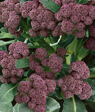 Broccoli, Purple Sprouting 1 Pkt.(400 Seeds) Broccoli Seeds, Broccoli Seed, Broccoli Raab Seed, Broccoli, Raab, Rapini, Garden Seeds, Vegetable