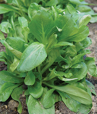 Corn Salad, D'Etampes 1 Pkt. Salad Greens Seeds, Salad Greens Seed, Salad Seeds, Salad Greens, Garden Seeds, Vegetable Seeds
