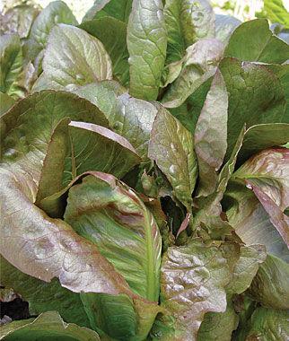 Lettuce, Rouge d'Hiver 1 Pkt.(750 Seeds) Lettuce Seed, Lettuce Seeds, Salad Greens, Lettuce, Lettuce Mix, Mesclun, Garden Seeds, Salad Seeds