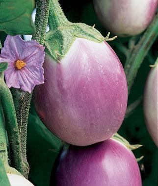 Eggplant, Rosa Bianca 1 Pkt.(30 Seeds) Eggplant Seeds, Eggplant Seed, Eggplant Plants, Eggplant Starts, Eggplant, Garden Seeds, Garden