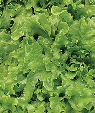 Lettuce, Curly Oakleaf Organic 1 Pkt. (1270 Seeds) Lettuce Seed, Lettuce Seeds, Salad Greens, Lettuce, Lettuce Mix, Mesclun, Garden Seeds, Salad Seeds