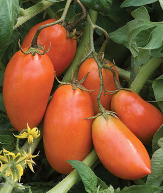 Tomato, San Marzano Organic 1 Pkt. (25 Seeds) Heirloom Tomatoes, Heirloom Tomato Seeds, Heirloom Seeds, Heirloom Tomato Plants, Tomato Seeds