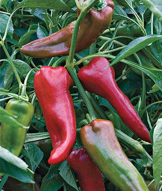 Pepper, Sweet Carmen Hybrid 1 Pkt. (25 Seeds) Pepper Seeds, Sweet Pepper Seeds, Stuffing Peppers, Bell Peppers, Sweet Peppers, Bell Pepper Seeds