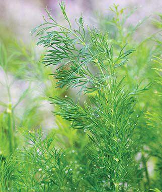 Dill, Hera Organic 1 Pkt. (400 Seeds) Dill, Dill Seed, Dill Seeds, Herbs, Herb Seeds, Garden Seeds, Vegetable Seeds, Seeds